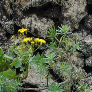 Wandern auf Lanzarote Tour 5: Monte Corona Flora